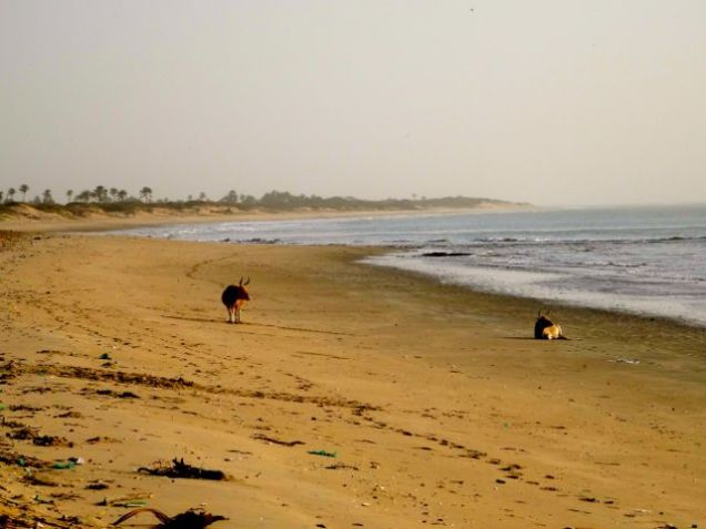 Cows on the beach in The Gambia