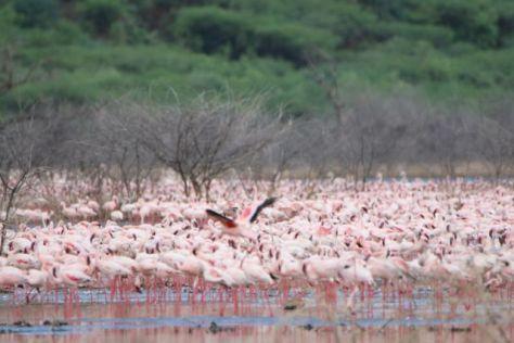 Thousands and thousands of flamingos