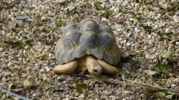 Madagascan Radiated Tortoise