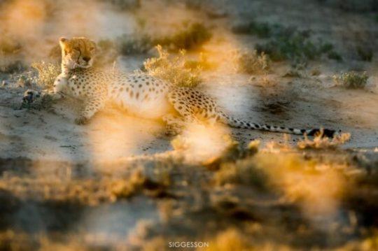 Double exposure of Cheetah