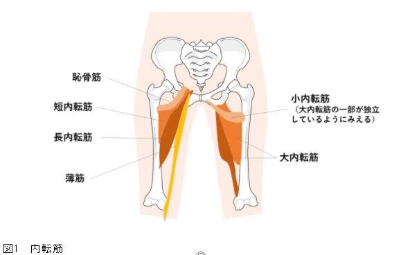 「内転筋」の画像検索結果
