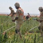 «القوات المسلحة» تقضي على  66 فدان من «البانجو» في جنوب سيناء