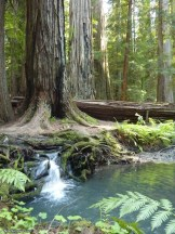 Large redwood and small waterfall