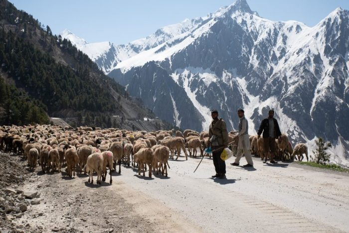 Schafsherde am Zoji La