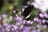 Andani-Papilio demolion 3