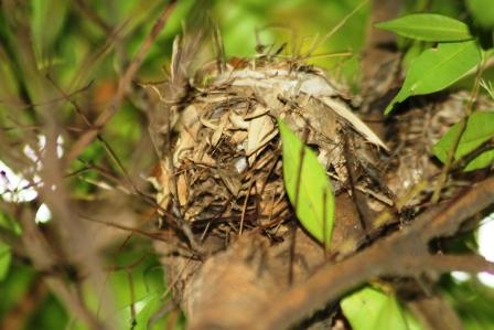 Sarang Burung Di Dahan Pohon PucukMerah