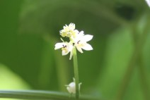 Bunga labu siam putih