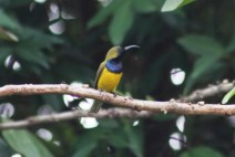 Burung Madu Sriganti 2