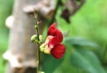 Bunga Kacang Ucu Merah 4