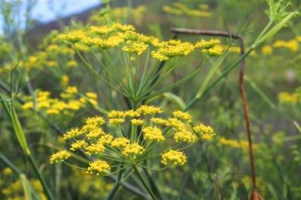 Bunga tanaman Adas pedas.