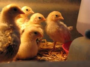 spring chickens 2