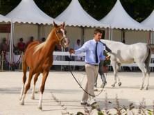 arabianhorses003