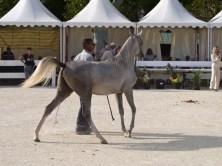 arabianhorses004