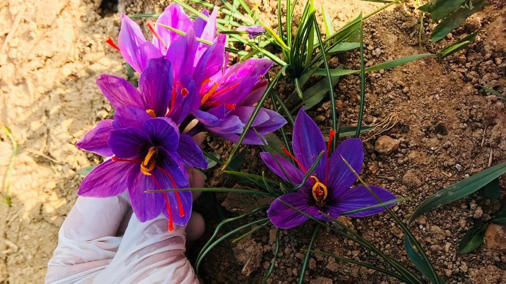 نمونهای از گل زعفران که در دایکندی کشت و برداشت میشود. عکس: نیمرخ