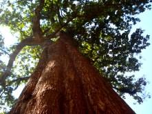 Kannimara Teak _ World's largest living teak