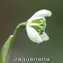 G. 'Jaquenetta'