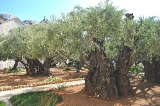 2,000 year-old olive trees
