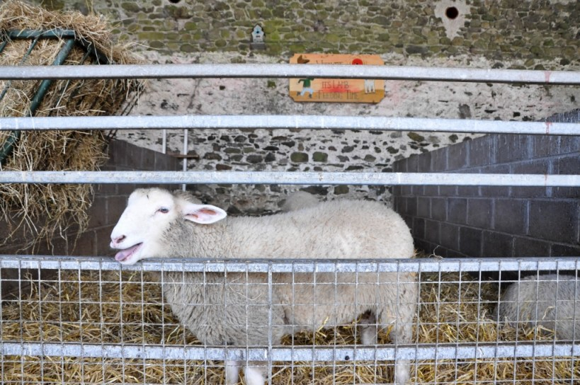 Happy sheep at Newgrange Farm