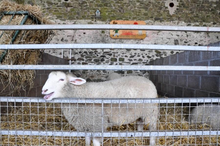 Happy sheep at Newgrange Farm