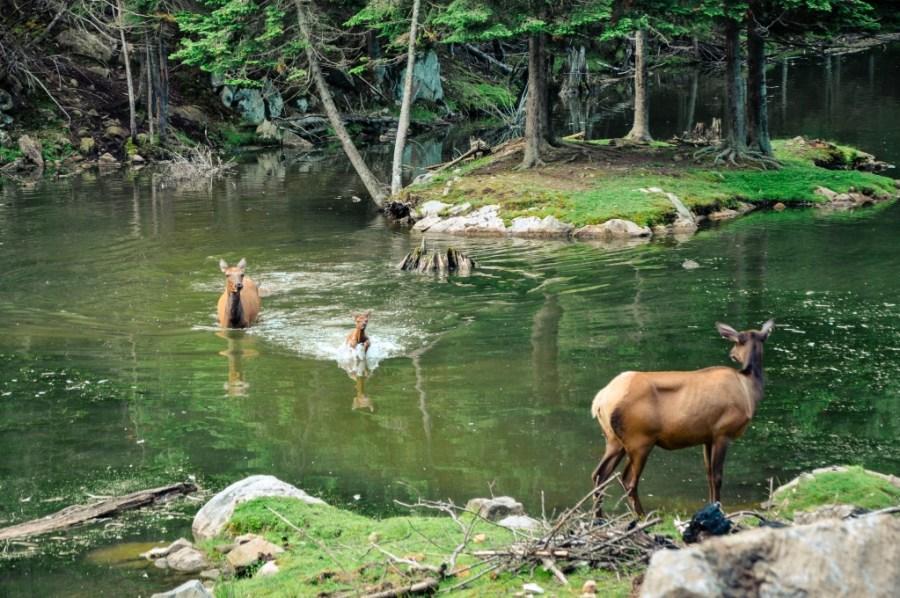 Elk water crossing