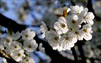 Brin de cerisier...