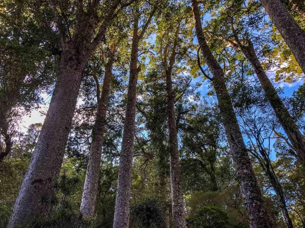 kauri trees