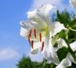 敬老の日の花カサブランカ