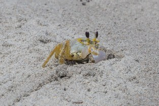 Ghost crab?