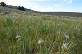 Oregon iris.