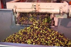 Olives enter the first stage of pressing