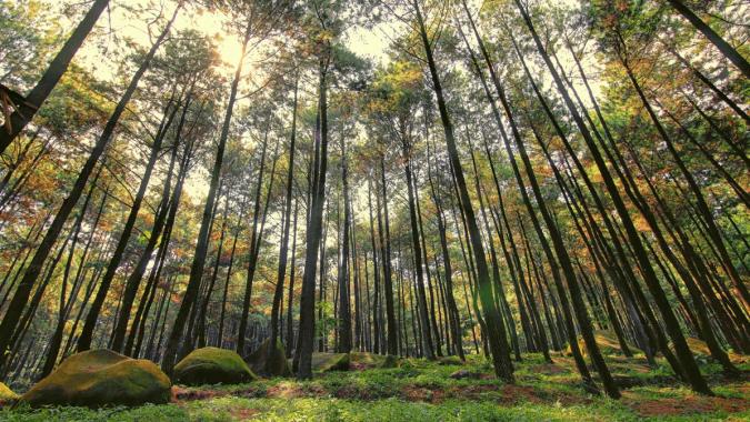 Hutan Pinus Mangunan Imogiri Jogja