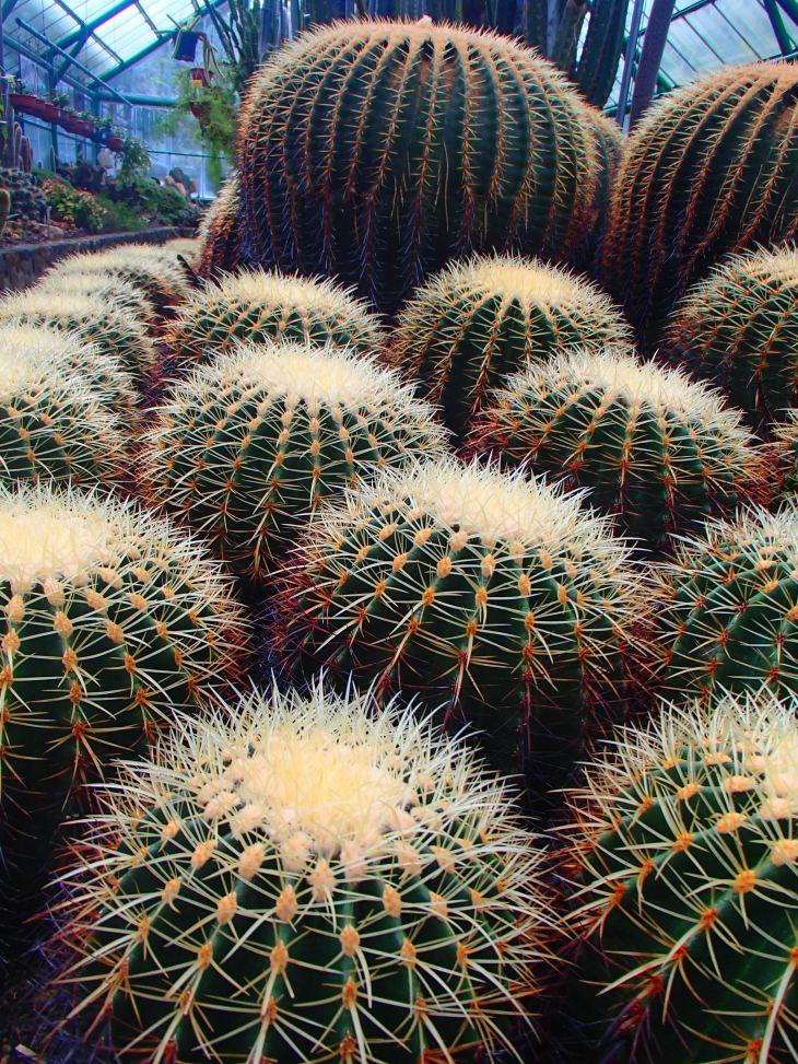 Kaktus Kursi Mertua
