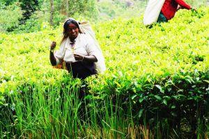 ヌワラエリヤの旅行記!ねぇ、紅茶畑さん。何でそんなに美しいの?