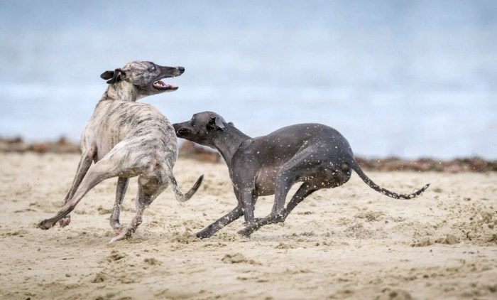 Inktober Unsplash - Whippets at play