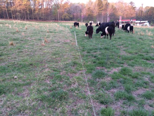 Grazing update 4-12-2014. Yesterday on the left