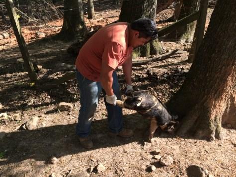 Miguel, wheelbarrowing one of the feeder pigs