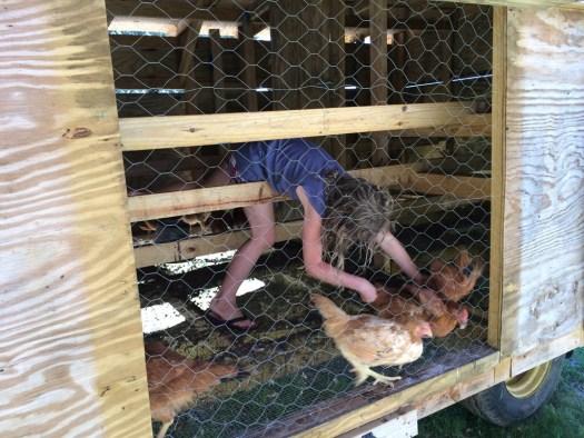Catching chickens