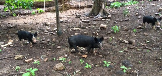 Pigs in forest paddock