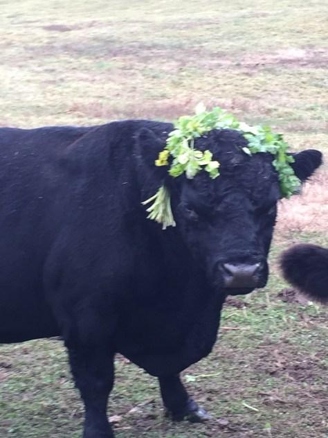 Bull wearing a garland