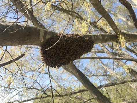 The swarm, just settled onto the branch