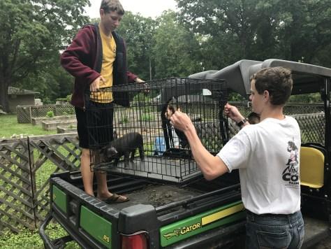 Boys unloading a baby piglet