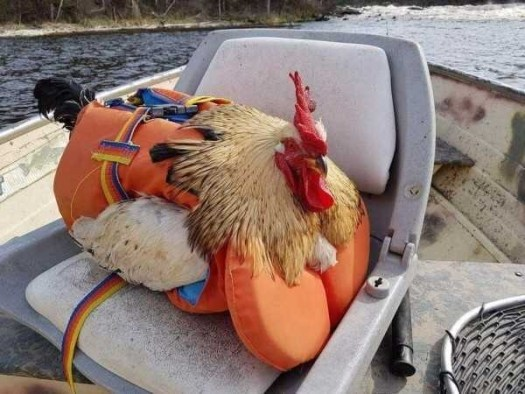 Chicken wearing a life preserver