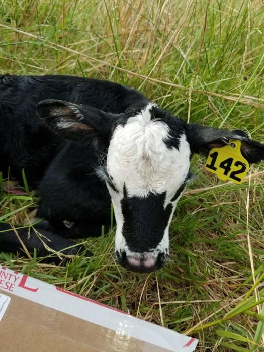 A pretty little spring calf, #142
