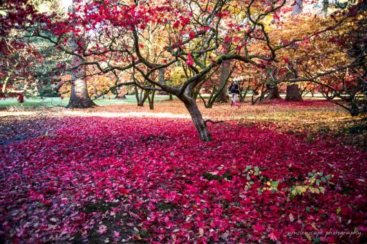 The fall - beautiful red bed of fallen leaves