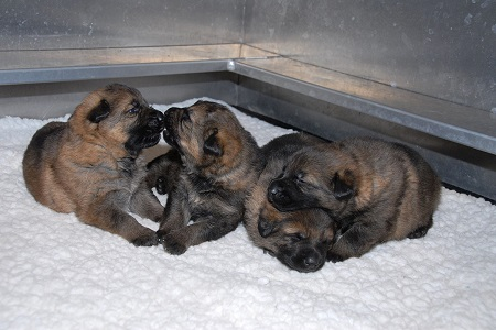 The first four puppies born at the RCMP PDSTC this year/Les quatre premiers chiots nés au CDCP de la GRC cette année