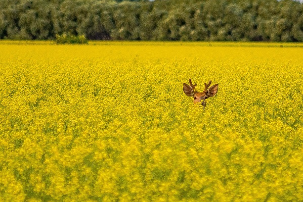 Deer in Canola Image by Joanne Francis