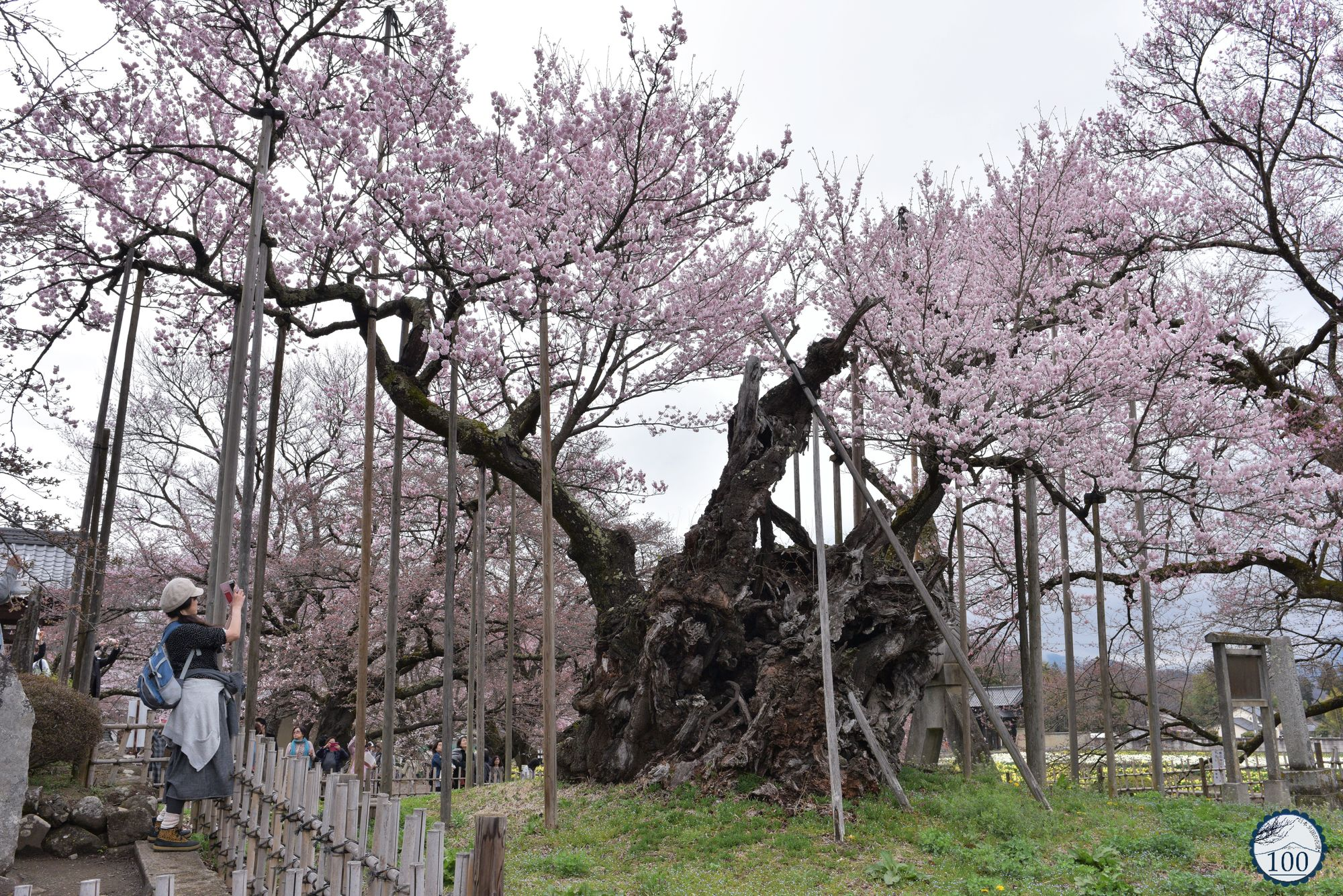 Photos] Here is Jindai-zakura, Japan's oldest cherry tree ...