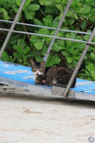 Un chat de l'Ishigaki - Okinawa
