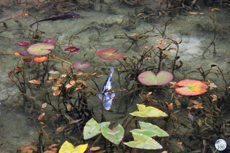 Etang de Monet - Monet pond