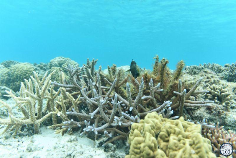 Zamami - Kerama islands - corail japonais